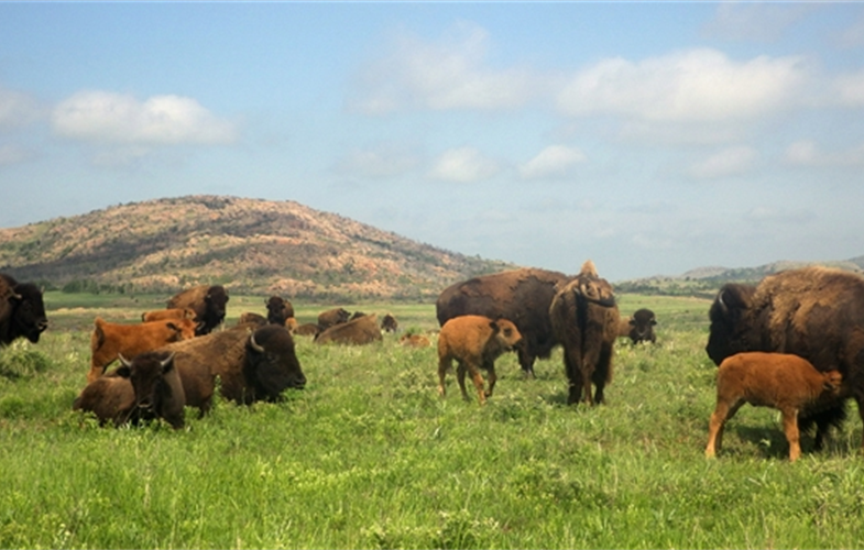 American bison in the Wichita Mountains Wildlife Refuge. CREDIT: S. Johnson.
