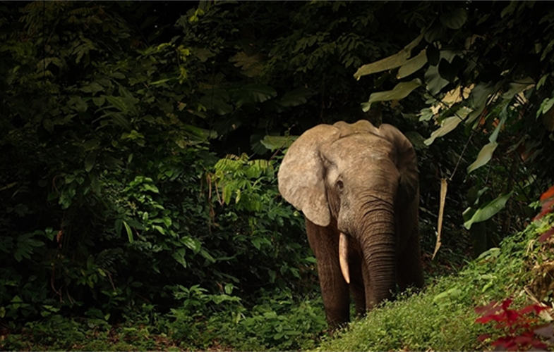 Forest elephant in Nouabale Ndoki Copyright Forrest Hogg WCS