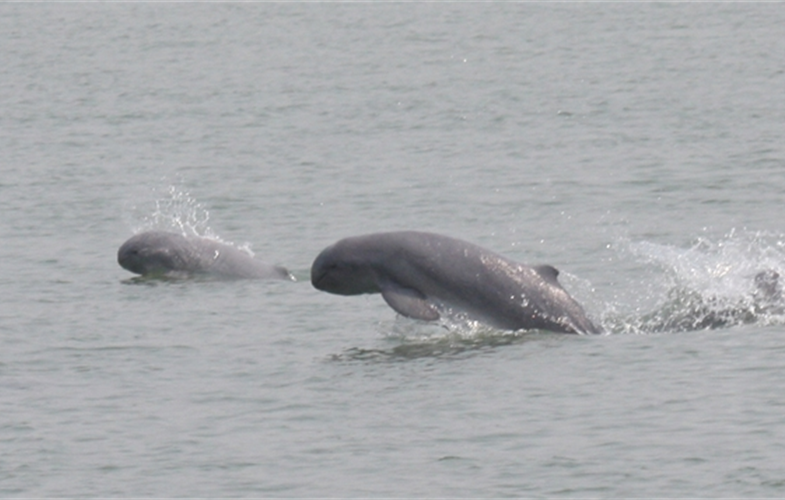 Irrawaddy Dolphins in Myanmar. CREDIT: WCS