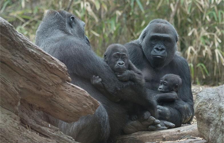 Two Baby Western Lowland Gorillas Debut At Wcs S Bronx Zoo Newsroom