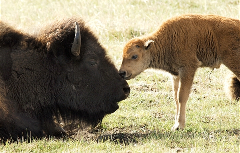 Julie Larsen Maher_9521_American Bison mother and calf in wild_YELL_05 13 06[1].JPG