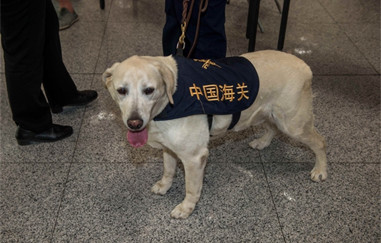Parker the Beijing Customs ivory-sniffing dog. cr: WCS CHINA