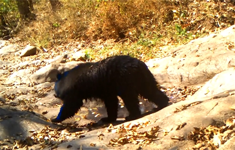 An Asiatic black bear stops by the hot tub.  CREDIT: WCS Thailand