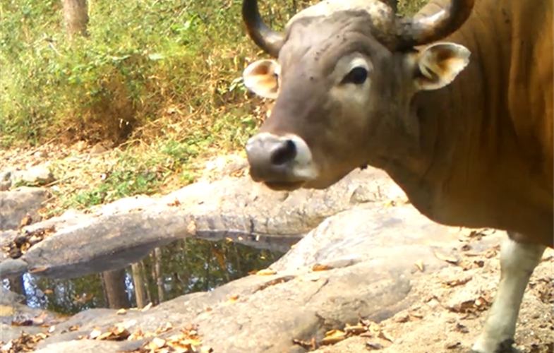 A rare banteng visits the watering hole.  CREDIT: WCS Thailand