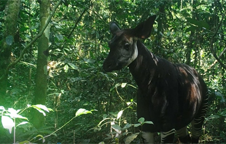 Wild Okapi caught on a camera trap in the Okapi Wildife Reserve. Copyright Okapi Conservation Project