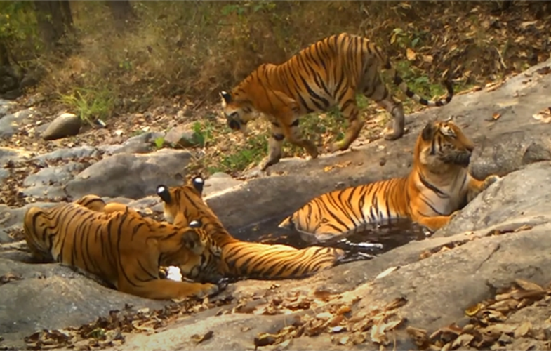 A group of tigers lounging around the