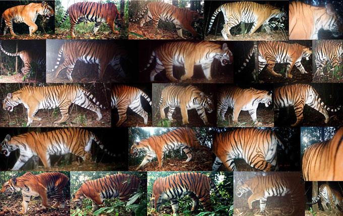 tiger prey