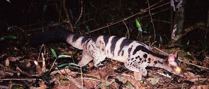 Owston s Civet