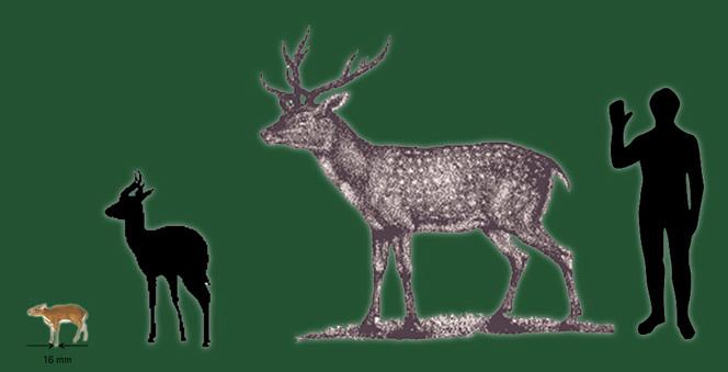 sizes of Deer
